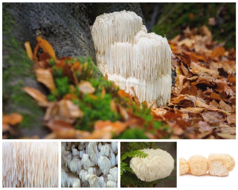 Lion's Manu mushroom - 5 images